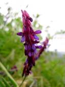 Vicia villosa ssp. varia