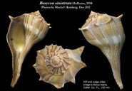 Lightening Whelk
