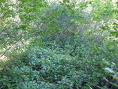 Rhamnus alnifolia