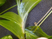 Potamogeton praelongus