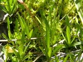 Erythranthe linearifolia