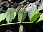 Astragalus umbraticus