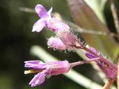 Boechera rigidissima