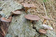 Polyporus brumalis