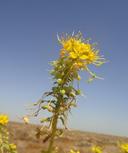 Wislizenia refracta ssp. californica