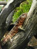 "<strong>Author:</strong> <a href=""http://calphotos.berkeley.edu/cgi/photographer_query?where-name_full=Simon+J.+Tonge&one=T"">Simon J. Tonge</a>"