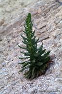 Phacelia palmeri