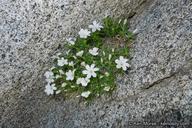 Linanthus jaegeri