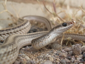 Mohave Patch-nosed Snake