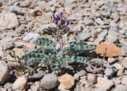Astragalus tidestromii