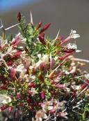 Menodora spinescens var. mohavensis