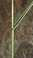 Digitaria californica