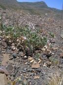 Trifolium leibergii