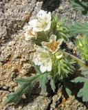 Phacelia cicutaria
