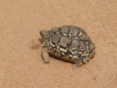 "Juvenile specimen<br /><strong>Location:</strong> Matopos National Park (Zimbabwe)<br /><strong>Author:</strong> <a href=""http://calphotos.berkeley.edu/cgi/photographer_query?where-name_full=Simon+J.+Tonge&one=T"">Simon J. Tonge</a>"