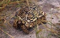 "<strong>Location:</strong> Morama private reserve (Botswana)<br /><strong>Author:</strong> <a href=""http://calphotos.berkeley.edu/cgi/photographer_query?where-name_full=Simon+J.+Tonge&one=T"">Simon J. Tonge</a>"