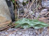 Erythronium citrinum var. roderickii