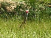 Grus canadensis tabida