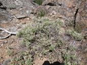 Glossopetalon spinescens var. aridum
