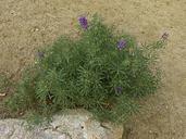 Lupinus hyacinthinus