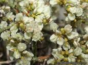 Eriogonum heermannii var. floccosum