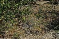 Astragalus canadensis var. brevidens