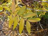 Pistacia chinensis