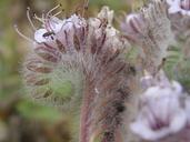 Phacelia hubbyi