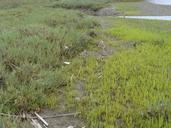 Salicornia bigelovii