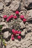 Eriogonum ovalifolium var. nivale
