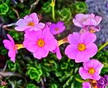 Primula suffrutescens