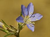 Eriastrum sapphirinum ssp. sapphirinum