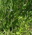 Veronica serpyllifolia ssp. humifusa