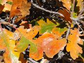 Quercus garryana var. breweri