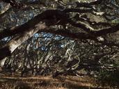 Quercus agrifolia var. agrifolia