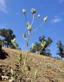 Cordylanthus rigidus ssp. rigidus