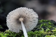 Japanese Umbrella Inky Cap