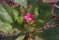 Aliciella latifolia