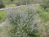 Salvia pinguifolia