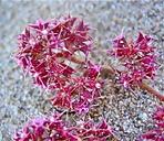 Chorizanthe angustifolia