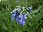 Mertensia oblongifolia