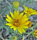 Heterotheca villosa