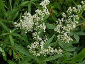 Galium boreale ssp. septentrionale