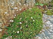 Saxifraga bronchialis var. austromontana