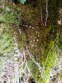 Asplenium trichomanes ssp. trichomanes