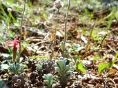 Antennaria suffrutescens