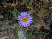 Symphyotrichum foliaceum var. apricum