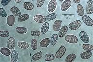 Gyroporus castaneus