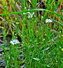 Stellaria longipes var. longipes