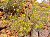 Chrysothamnus viscidiflorus ssp. puberulus